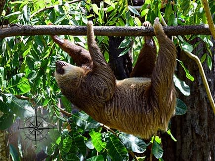 Sloth on a branch in Costa Rica