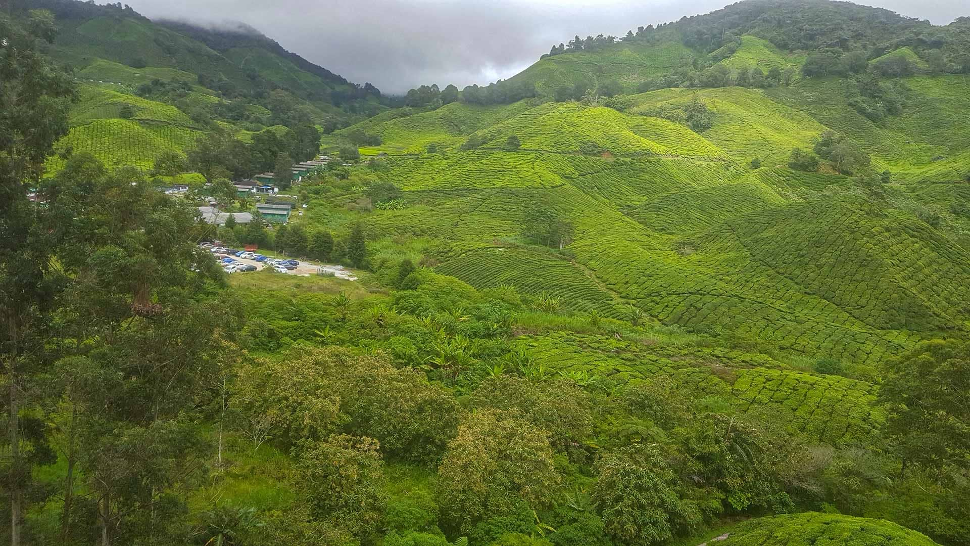 Elevated view of Tea Fields
